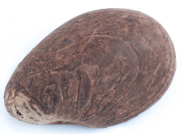 Tagua-Nuss (Elfenbeinersatz) natur